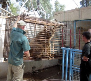 A Bear Left in the Baghdad Zoo