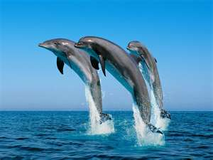 Dolphins squeal for help - support Ric O'Barry's http://savejapandolphins.org