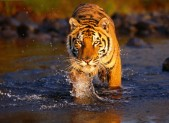 Tiger Tourism Ban Lifted in India