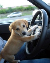 cute_puppy_driving_a_car