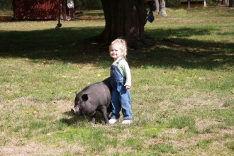 A lovely pig up for adoption - Pig Placement Network