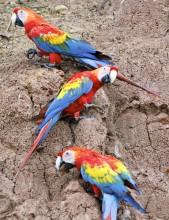 Chico Parrots