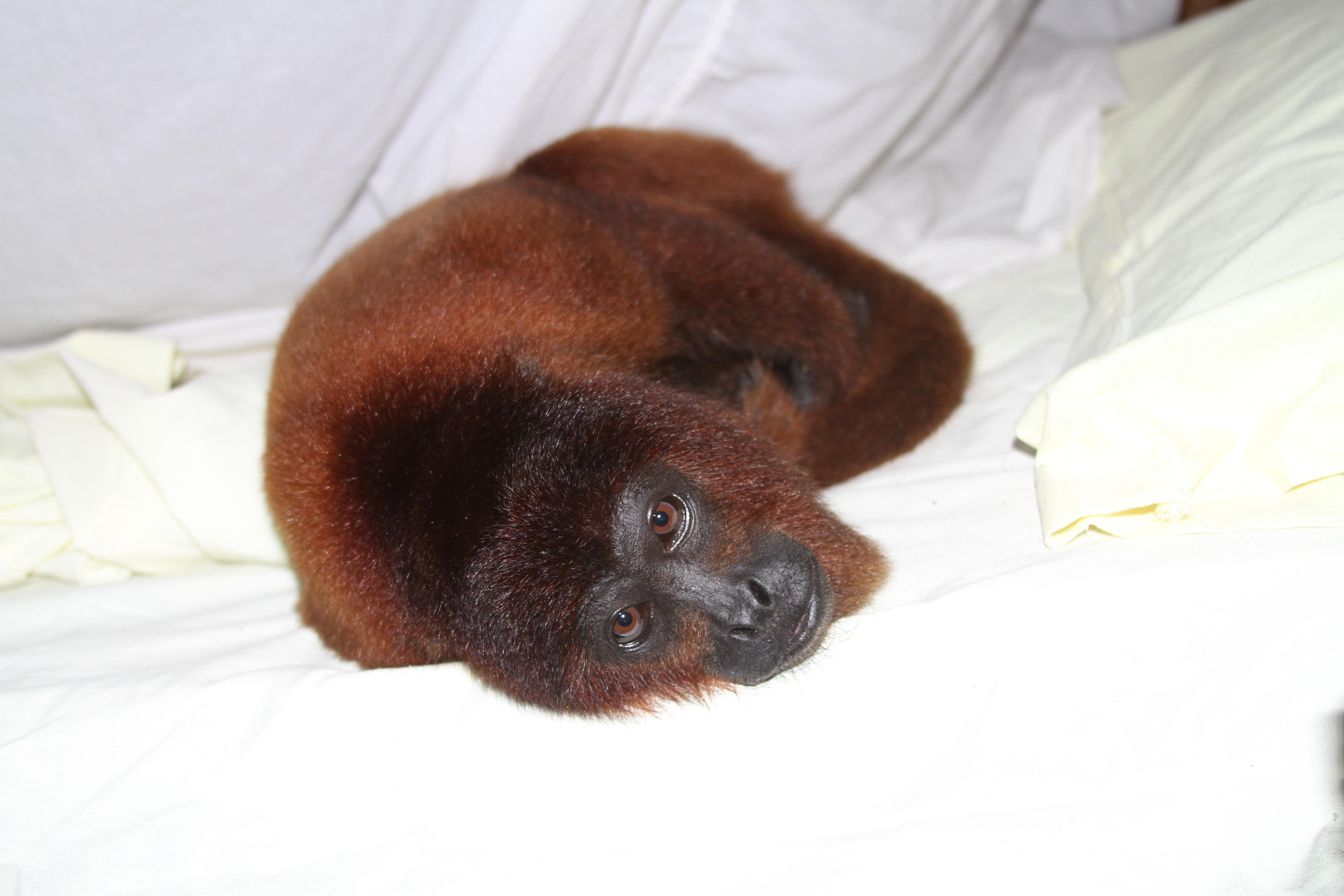Monkey the adorable Howler Monkey may wake you up at the Amazon shelter!