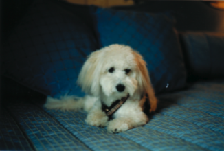 Lilah, of the rare breed Coton de Tulear