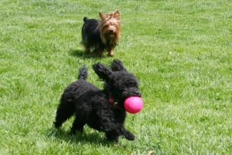 Two dogs run through the part with a pink ball
