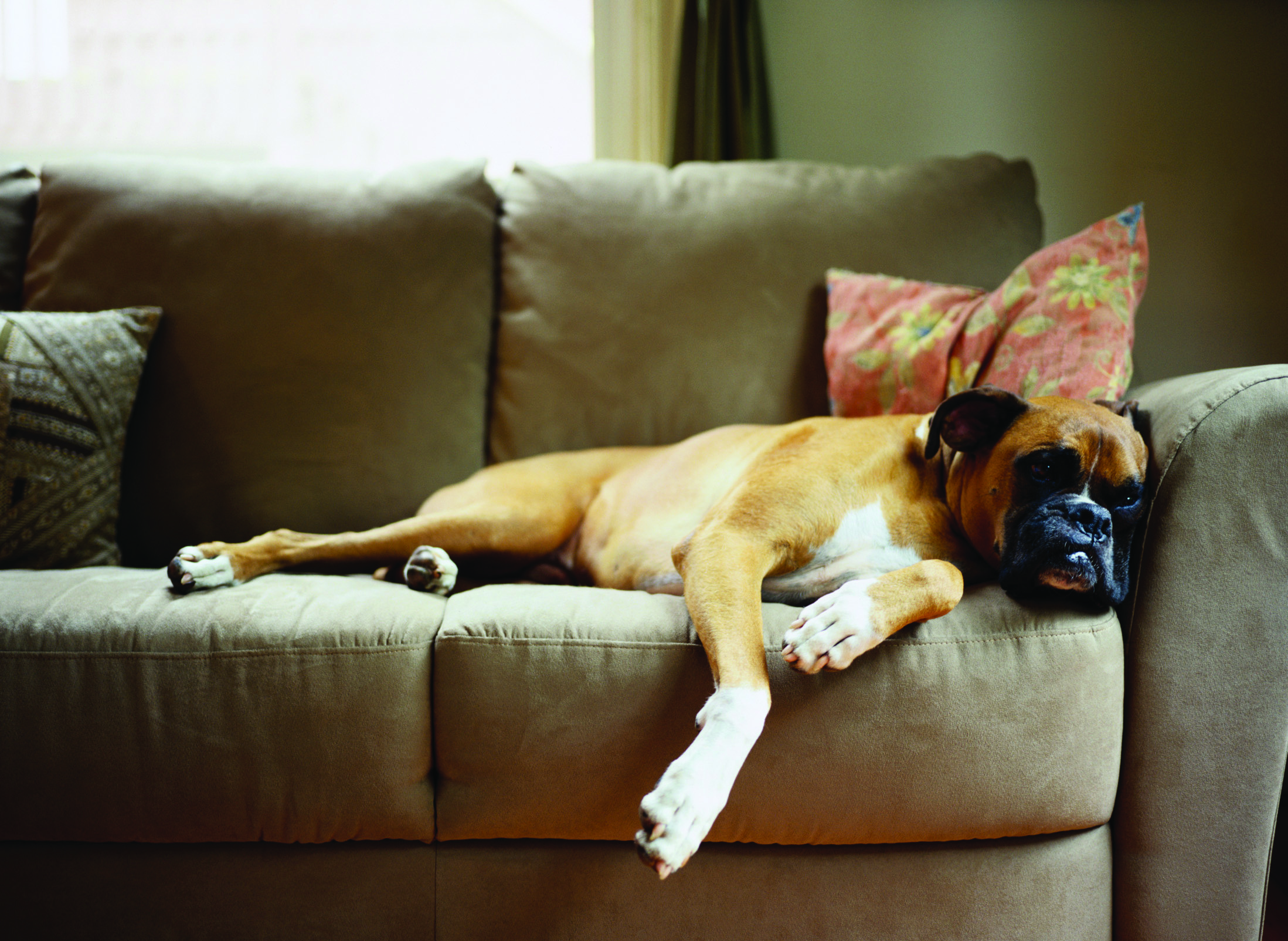Dog lying down on couch