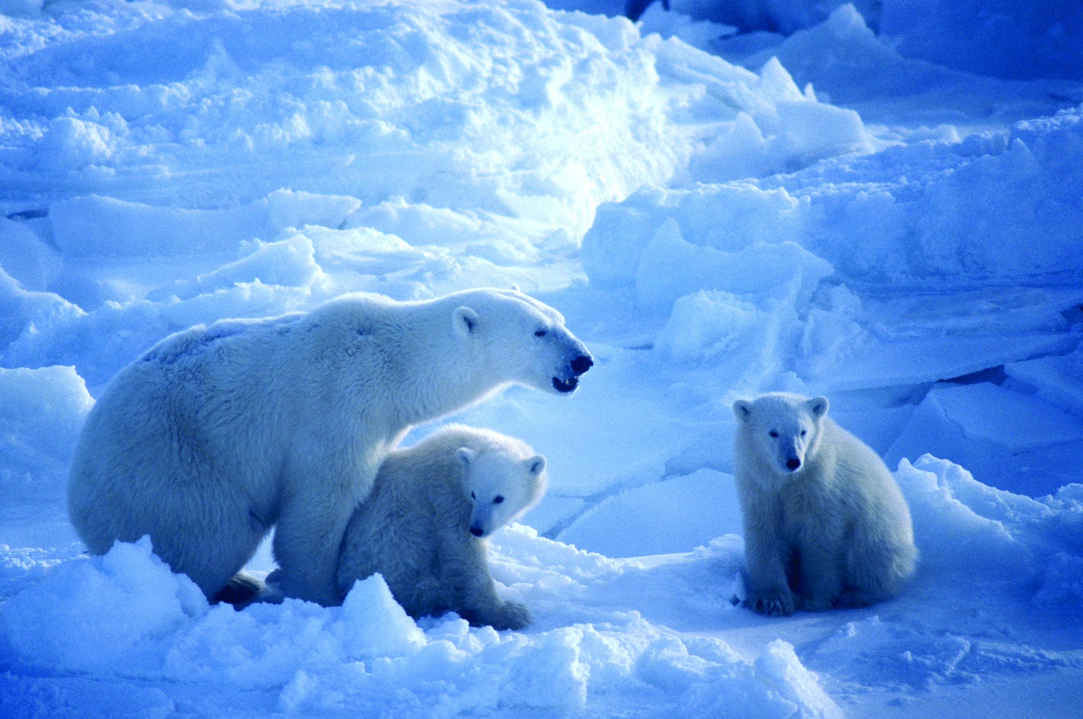 Polar Bear Cannibalism – Global Warming