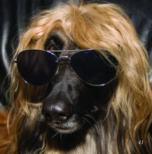 long hair pooch with aviation sun glasses