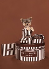 Yorkie Having Fun With Henri Bendel gift boxes! - Photo by Ren Netherland