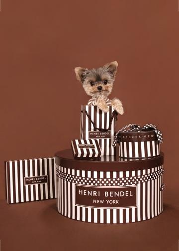 Yorkie Having Fun With Henri Bendel gift boxes! - Photo by Ren Netherland