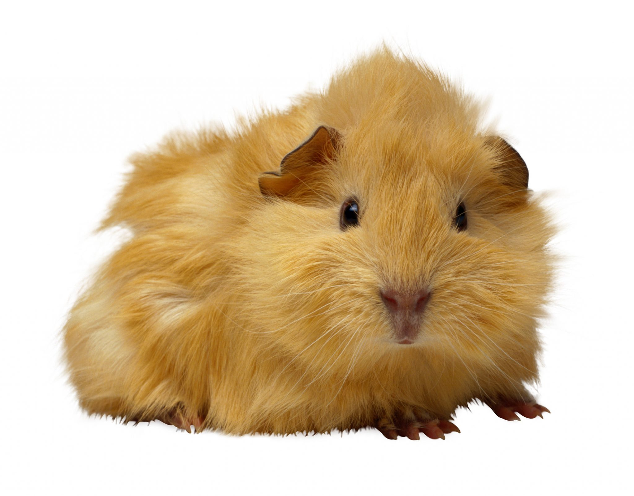 rodent rules for summer small pet precautions for your