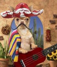 cinco de mayo dog mexican