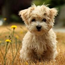 cute_little_dog_wallpaper-1024x1024-600x600