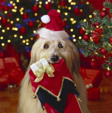 Cute Dog with Christmas Santa Hat and Stocking with Tree