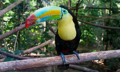 Keel-billed Toucans are also know as the rainbow billed toucan.