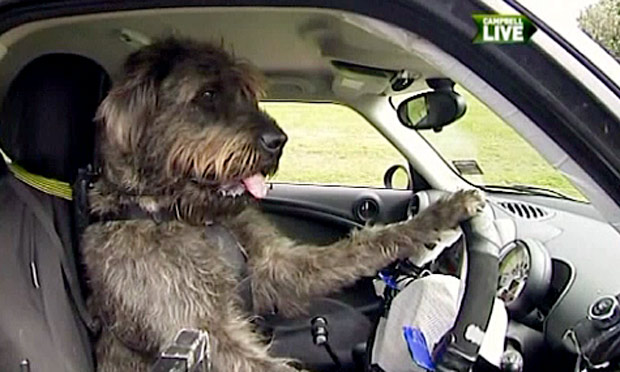 Doggy Drivers Get the Green Light in New Zealand!