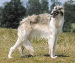 Russian Wolfhound