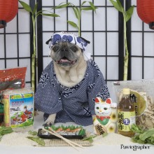 The Pawtographer Sushi chef dog