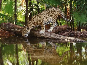 Belize jaguar taking a refreshing drink.