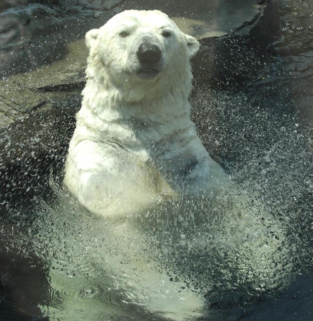 Gus, NYC's Most Popular Polar Bear Has Gone To The Arctic Heaven