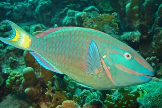 The Parrotfish's teeth grow continuously and it is able to product 200 lbs of sand annually!