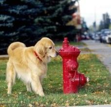 Golden retriever checking fire hydrant.