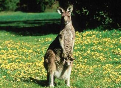 cute kangaroo baby