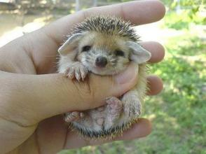 baby-hedgehog-cute-201210
