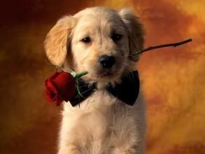 cute,dog,love,lovely,rose,