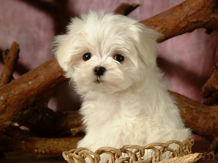Great Fluffy Canine Adorable Dog - maltese  Best Photo Reference_916690  .jpg
