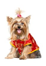 cute yorkie chinese china dog