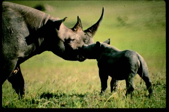 A femaleRhino and her two-month old calf share a quiet moment - Masai Mara, Kenya.