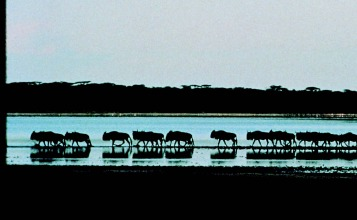 A tranquil herd of water buffalo clustered at the edge of the Serengeti