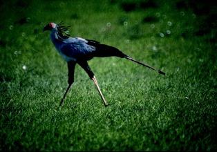 A regal African secretary bird ambles through the grasslands