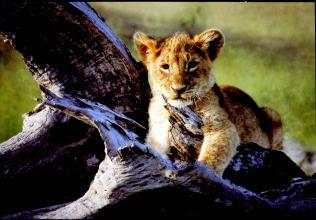 AF PG 74 lion cub