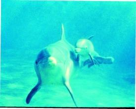 AF PG 84 underwater dolphins