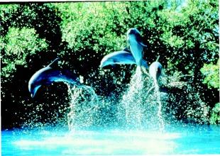 AF PG 85 jumping dolphins