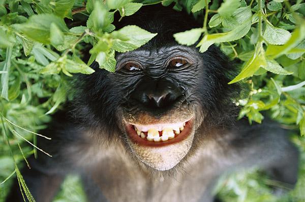 [Image: bonobo.jpg]