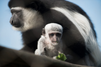 Sheldon is a colobus monkey of the Columbus Zoo.