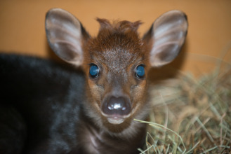 The black duiker is a forrest-dwelling antelope