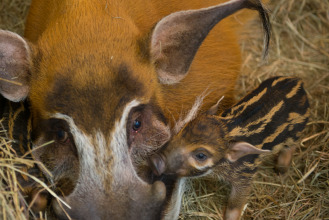 Two red river hog piglets were born this month!