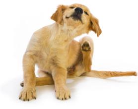 dog-scratching-