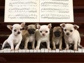 Chihuahua piano