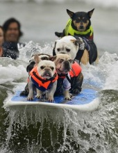 surfing-dogs-20110927-110543