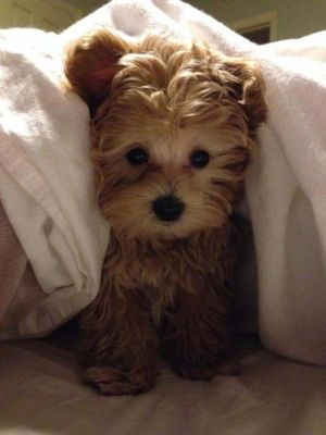 Even Pups Don't Can't  Get Out Of The Luxurious Beds In DownTown Toronto's Four Seasons.