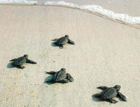 Zante Turtles