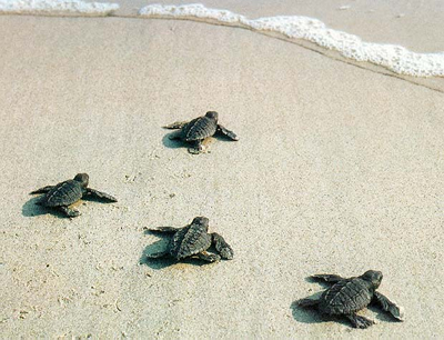 Hatched baby turtles running toward the water!