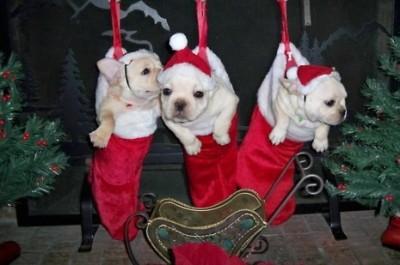 cute-dogs xmas