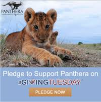 It's not too late to help Panthera this #GivingTuesday!