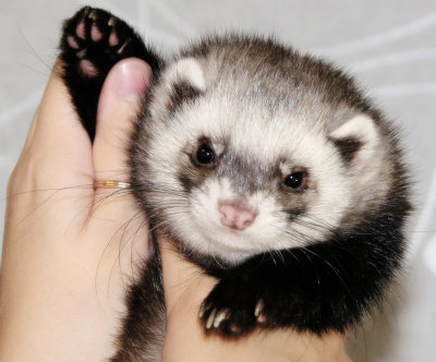 who_are_in_favor_of_saving_ferrets__by_silentfly3-d5es5je